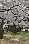 Destination Posters - Cherry Blossoms - Washington DC - 011382 Poster by DC Photographer