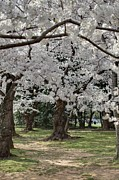 Patriotic Art - Cherry Blossoms - Washington DC - 011383 by DC Photographer
