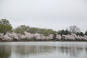 White Photo Prints - Cherry Blossoms - Washington DC - 011395 Print by DC Photographer