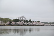 Monuments Posters - Cherry Blossoms - Washington DC - 011396 Poster by DC Photographer