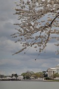 Usa Photo Posters - Cherry Blossoms with Jefferson Memorial - Washington DC - 011312 Poster by DC Photographer