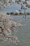 Romantic Photo Prints - Cherry Blossoms with Jefferson Memorial - Washington DC - 011321 Print by DC Photographer