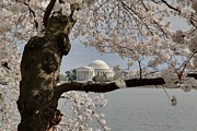 Outside Photo Framed Prints - Cherry Blossoms with Jefferson Memorial - Washington DC - 011322 Framed Print by DC Photographer