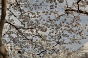 Usa Art - Cherry Blossoms with Jefferson Memorial - Washington DC - 011330 by DC Photographer