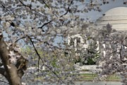 Tourism Art - Cherry Blossoms with Jefferson Memorial - Washington DC - 011335 by DC Photographer