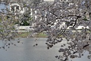 Nature Photo Acrylic Prints - Cherry Blossoms with Jefferson Memorial - Washington DC - 011337 Acrylic Print by DC Photographer