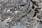 Romantic Metal Prints - Cherry Blossoms with Jefferson Memorial - Washington DC - 011338 Metal Print by DC Photographer