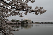 Soft Photo Prints - Cherry Blossoms with Jefferson Memorial - Washington DC - 011343 Print by DC Photographer