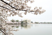 Petals Posters - Cherry Blossoms with Jefferson Memorial - Washington DC - 011344 Poster by DC Photographer