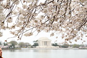 National Prints - Cherry Blossoms with Jefferson Memorial - Washington DC - 011348 Print by DC Photographer