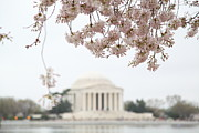 Cherry Blossoms With Jefferson Memorial - Washington Dc - 011350 Print by DC Photographer
