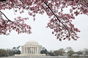 D.c. Photo Acrylic Prints - Cherry Blossoms with Jefferson Memorial - Washington DC - 011351 Acrylic Print by DC Photographer
