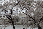 Flowering Framed Prints - Cherry Blossoms with Jefferson Memorial - Washington DC - 011352 Framed Print by DC Photographer