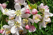 Cherry Blossoms Photo Originals - Cherry Blssoms with Dew by Betsy Cotton