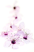 Cherry Blossom Metal Prints - Cherry Cascade Metal Print by Rebecca Cozart