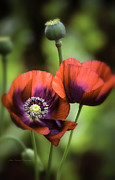 Julie Palencia Photography Photos - Cherry Glow Poppies by Julie Palencia