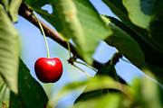 Hannes Cmarits - cherry