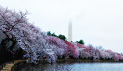 Cherry Blossom Framed Prints - Cherry Monument in Fog - Sydney Tran Framed Print by Sydney Tran