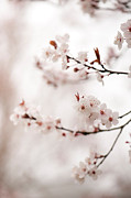 Cherry Art Metal Prints - Cherry Plum Blossom Metal Print by Anne Gilbert
