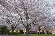 JPLDesigns - Cherry Tree Blossom at...