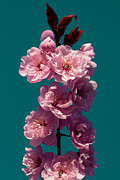 Spring Florals Posters - Cherry Tree Blossoms Poster by David Patterson
