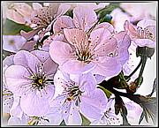Cherry Tree Blossoms Print by Dora Sofia Caputo