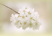 Cherry Art Prints - Cherry Tree Blossoms Print by Sandy Keeton