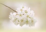 Cherry Tree Blossoms Print by Sandy Keeton