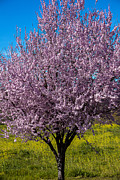 Blooming Trees Posters - Cherry tree in bloom Poster by Garry Gay