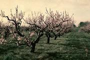 Michelle Calkins - Cherry Trees 2.0