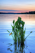 Lilies Posters - Chesapeake Bay Poster by JC Findley