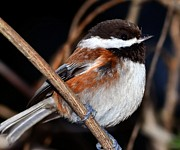 Don Herd - Chestnut-Backed...