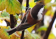 Karen Horn - Chestnut-backed Chickadee