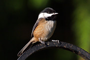 Tim Moore - Chestnut Backed Chickadee