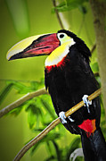 Perch Posters - Chestnut Mandibled Toucan Poster by Elena Elisseeva
