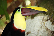 Toucan Metal Prints - Chestnut mandibled toucan Metal Print by James Brunker