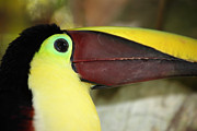 Toucan Metal Prints - Chestnut mandibled toucan portrait Metal Print by James Brunker