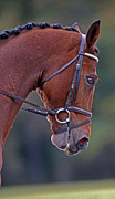 Chestnut Horse Framed Prints - Chestnut Framed Print by Skip Willits