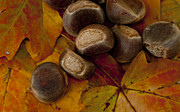 Deer Prints - Chestnuts and Fall Leaves Print by Wilma  Birdwell