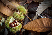 Speculation Framed Prints - Chestnuts and Leaves  Framed Print by David Tinsley