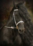 Friesian Framed Prints - Chiaroscuro Framed Print by Fran J Scott