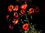 John Tidball  - Chiaroscuro Poppies