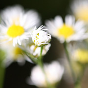 White Daisies Photos - Chicago Botanical Gardens - 66 by Ely Arsha
