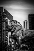 Chicago Lion Statues In Black And White Print by Paul Velgos