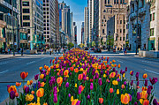 Chicago Photography Posters - Chicago Tulips Poster by Jeff Lewis