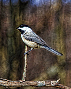 John Crothers - Chickadee 1