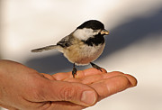 Feeding Birds Photo Prints - Chickadee 7 Print by Michael  Nau