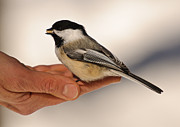 Hand Fed Framed Prints - Chickadee 8 Framed Print by Michael  Nau