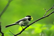 Tammy Franck - Chickadee and Worm