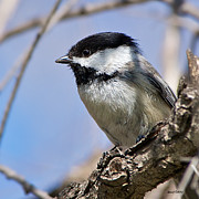 Stephen  Johnson - Chickadee at Carson...